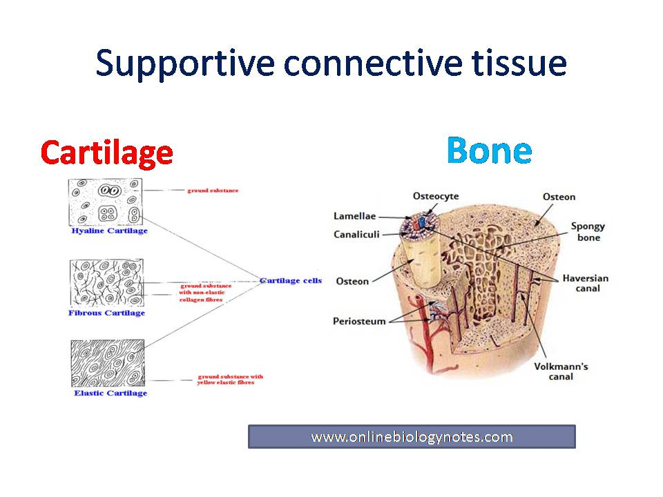 Supportive Connective Tissue Cartilage And Bone Online Biology
