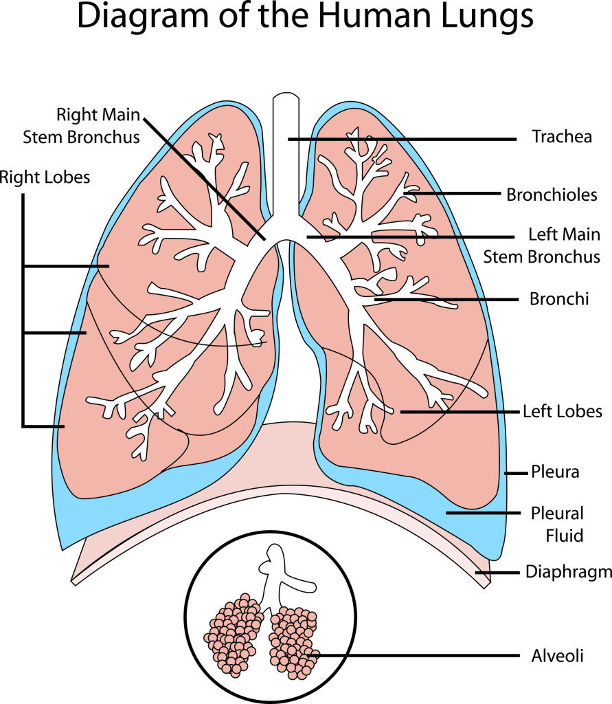 Respiration, types of respiration and anatomy of Human respiratory ...
