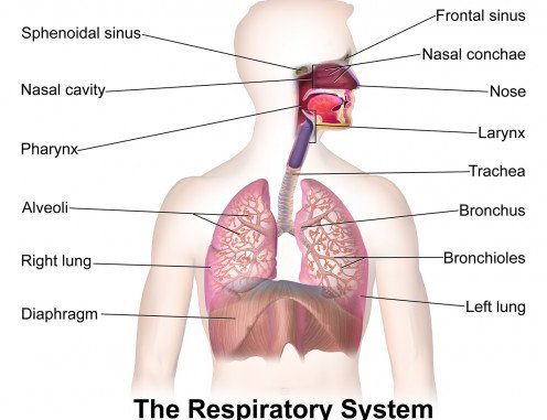 respiration, types of respiration and anatomy of human respiratory system
