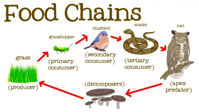 About Food Chain And Food Web