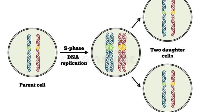 mitosis mitotic cell division stages and significance