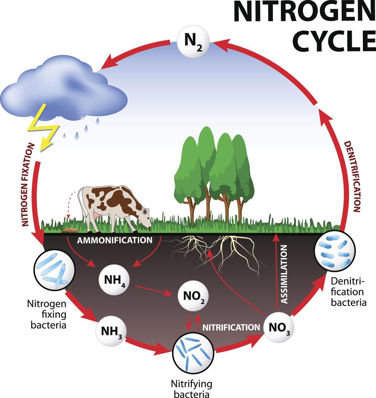 nitrogen cycle steps of nitrogen cycle