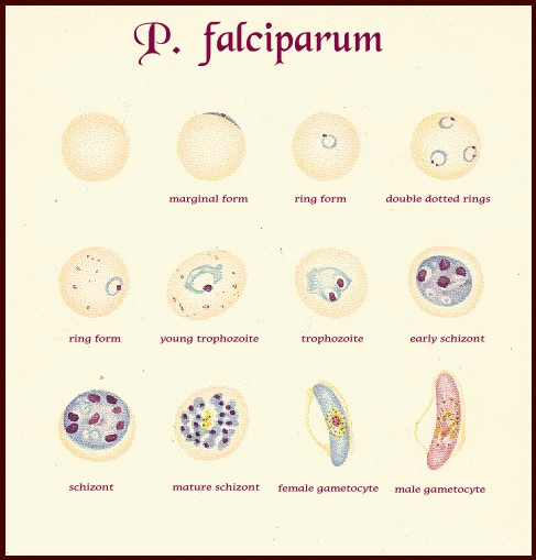 Plasmodium falciparum: morphology, life cycle ...