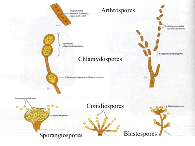 Asexual reproduction spores definition microbiology