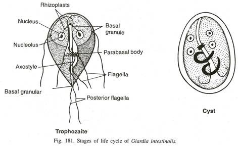giardia lamblia  morphology  life cycle  pathogenesis