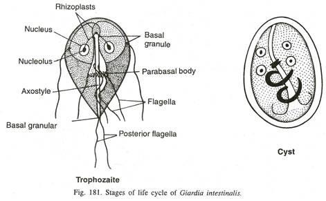 a giardia életciklus-diagramja)