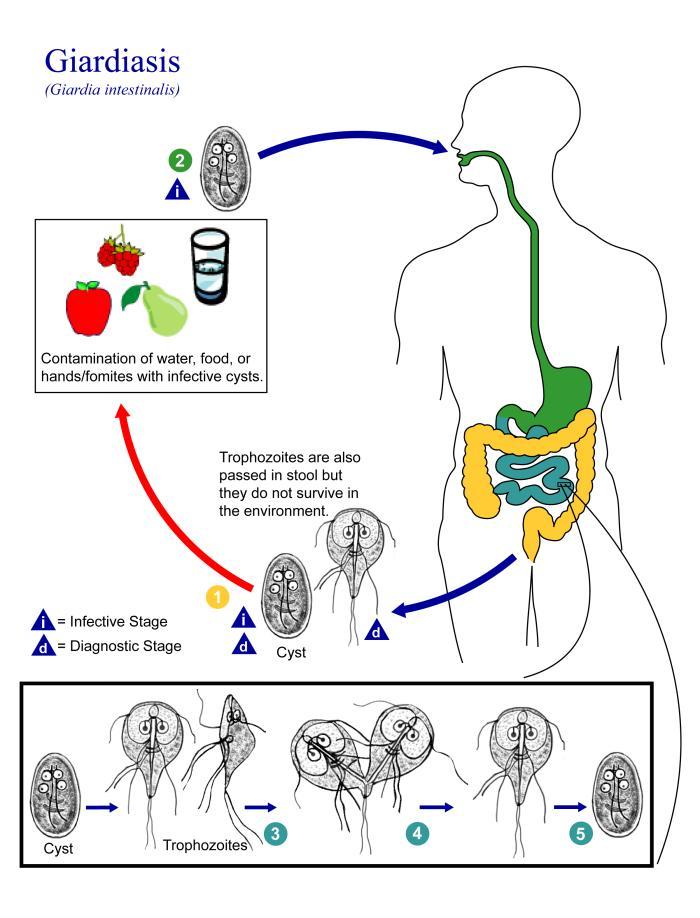 a giardiasis lokalizációja a testben