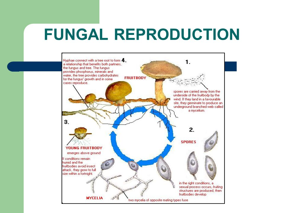 Reproduction in fungi: asexual and sexual methods - Online Biology Notes