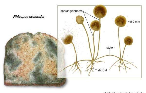Rhizopus Stolonifer  Morphology And Reproduction Of Black