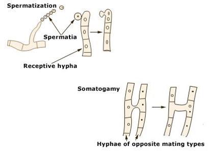 Spermatization & Somatogamy in fungi.
