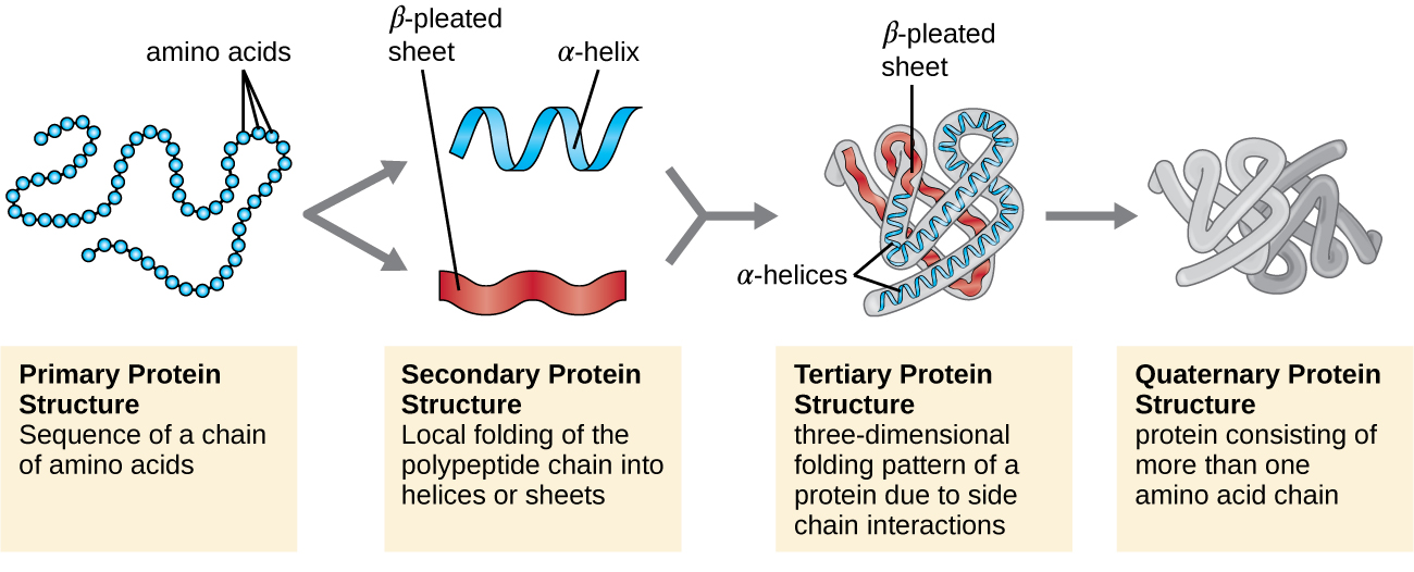 Level Of Structural Organization Of Protein