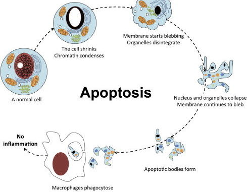 Apoptosis (Programmed cell death) Cell Biology